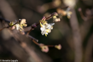 _MG_1102.lonicera_purpusii-0021