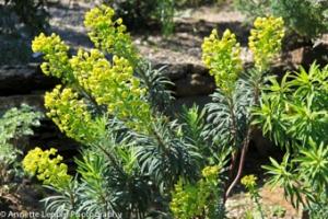 IMG_2117 Euphorbia characias