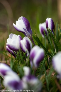 _MG_1584.crocus_chrysanthus_prins_claus-0032