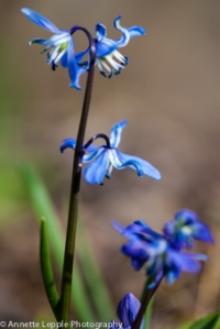 _MG_1690.scilla_siberica_spring_beauty-0036