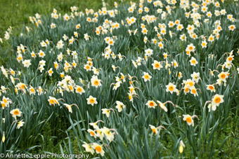 IMG_7456_narcissus