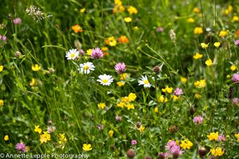 rasen und wildblumen lawn and wildflowers annettes garten annette 39 s garden. Black Bedroom Furniture Sets. Home Design Ideas