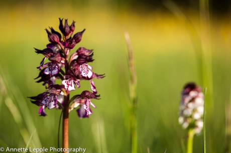 _MG_3094.orchis_purpurea-0059