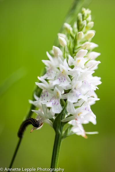 _MG_3401,dactylorhiza_maculata-0066