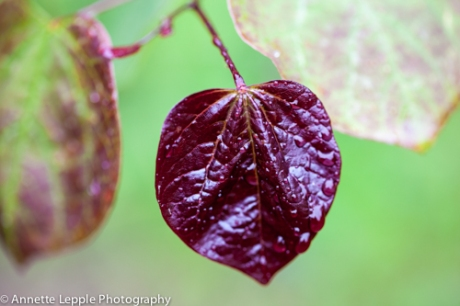 _MG_3579.cercis_canadensis_forest_pansy-0074