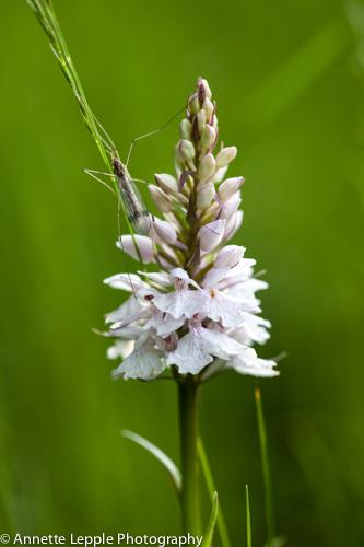 _MG_3702.dactylorhiza_maculata-0074