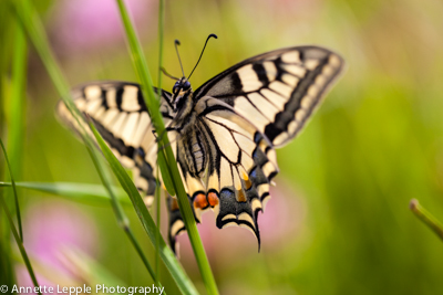 _MG_4616.papilio_machaon-0083