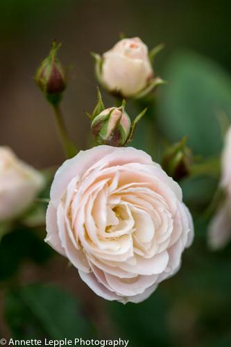 _MG_5015.rosa_bouquet_parfait-0094
