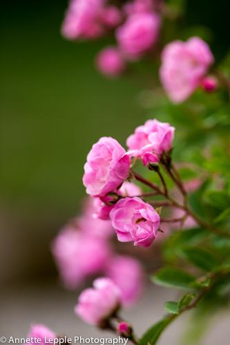 _MG_5021.rosa_heavenly_pink-0094