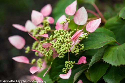 _MG_5681.schhizophragma_hydrangeoides-0102