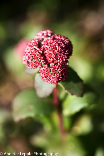 IMG_6207_sedum_red_cauli