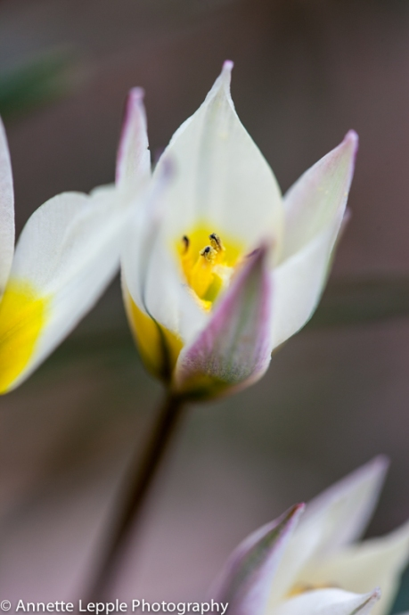 _MG_1866.tulipa_biflora-0041