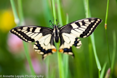 _MG_4609.papilio_machaon-0083