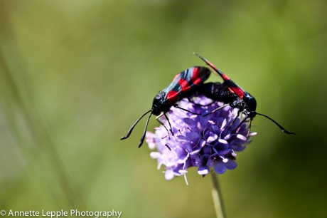 Mating burnet moths