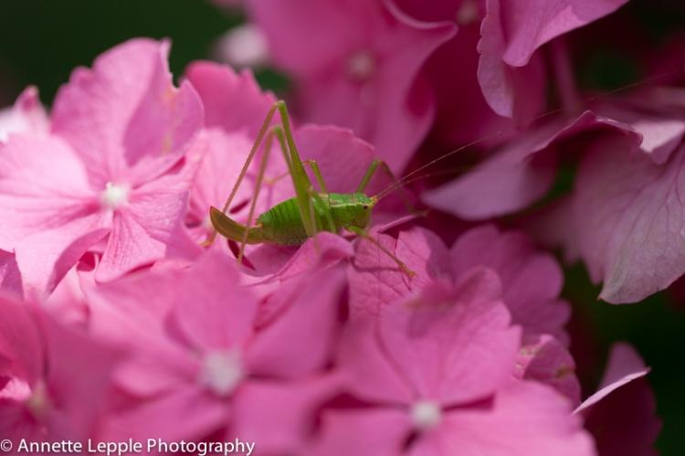 _MG_6699.hydrangea_macrophylla_rosita-0122