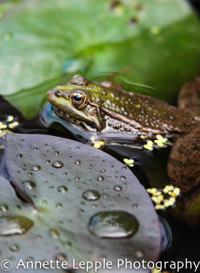 Frog resting among water lily leaves in a pond
