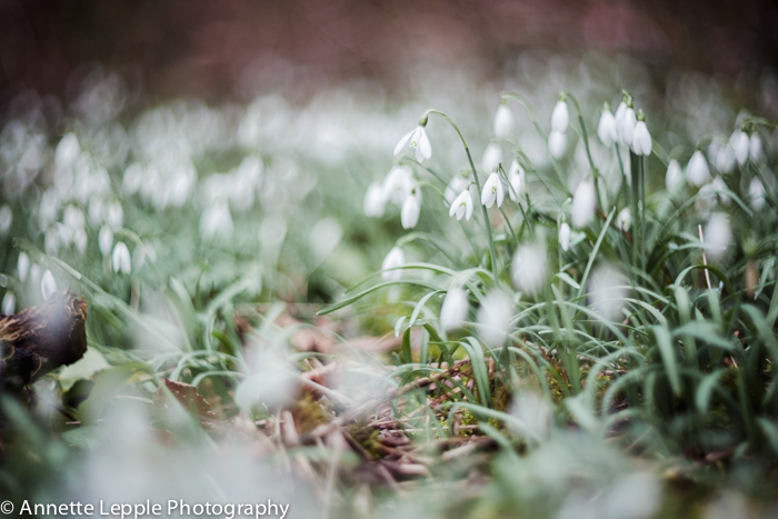 Snowdrops in a woodland seen in a frog perspective