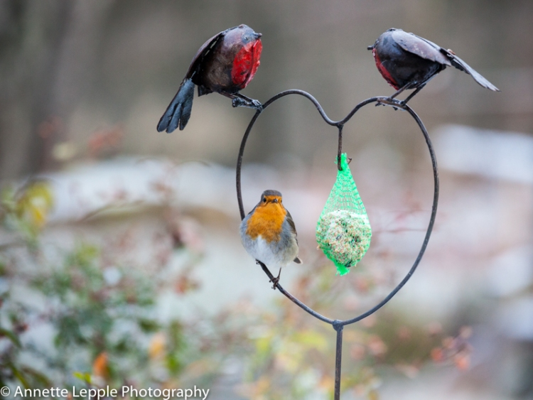 Robin sitting on heart-shaped bird feeder with fat ball
